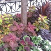 Coleus Foliage Mix