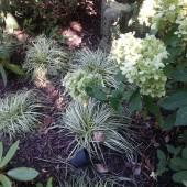 Hydrangeas and Carex 'Ice Dance'
