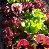 Lettuce and Pansies