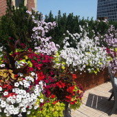 Petunias Gone Wild on Rooftop