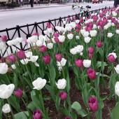 Tulip Mania at The Bernardin