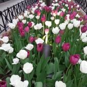 Tulip Royal Dream Bernardin